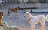 دخیل نبودن شهرداری در کشتار سگ ها واقعیت ندارد/ نیروی شهرداری به کشتار اعتراف کرده/ شهردار صراحتا گفت سگ ها را یوتانایز می کنیم/ سگ هایی که وارد سایت عقیم سازی می شوند واکسیناسیون هاری نمی شوند/ آمارهای عقیم سازی بجای اینکه افزایشی باشد کاهشی شده است